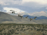 Flock of Sandhill Cranes in Flight over a Hilly Landscape
