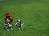 Two Dalmatians Sit on Green Grass near a Red Fire Hydrant