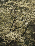 Delicate White Blossoms Fill a Dogwood Tree in the Spring