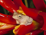 A Tree Frog Shelters in a Bromeliad