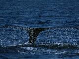 The Tail Flukes of a Humpback Whale Papier Photo par Tim Laman