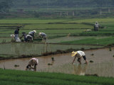 Rice Farmers in Paddies  Guangxi  China