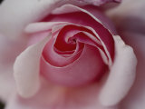Close-up of a Rose