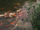 Koi Fish Feed at the Morikami Museum and Japanese Gardens