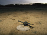 Young Pacific Ridley Turtle on a Sand Dollar