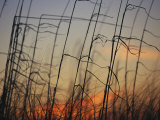 Tall Grasses Blowing in the Wind at Twilight