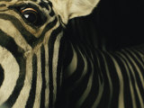 A Zebra Looks Down at the Photographer