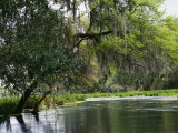 Spanish Moss Fills Tree Branches Overhanging a Waterway