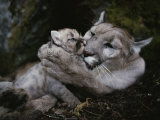 Mother Mountain Lion  Felis Concolor  Grooms a Two-Week-Old Kitten