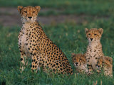 A Portrait of a Female African Cheetah and Her Three Cubs