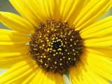 Close View of a Sunflower
