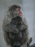 A Mother Snow Monkey  or Japanese Macaque  Holds Her Infant