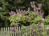 Lilac Blossoming Near a Fence