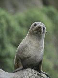 A New Zealand Fur Seal (Arctocephalus Forsteri) Looks Confused