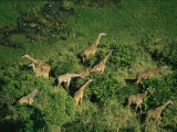 Herd of Giraffe Grazing in Trees on an African Plain