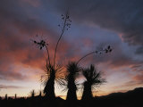 Spanish Bayonet Yucca Plants Silhouetted against the Evening Sky
