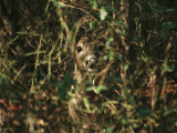A White-Tailed Deer Doe Peeking from a Briar Patch