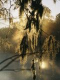 Spanish Moss Hanging from a Tree Branch in Afternoon Light