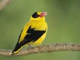 Golden Oriole Sitting on a Tree Branch