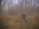 A 8-Point White-Tailed Deer Buck Eating Grasses at Woods Edge