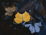 Two Migratory Butterflies Floating on the Surface of a Pool of Water