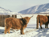 West Highland Cattle