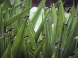 A Flock of Bananaquit Birds Perched on Aloe Leaves