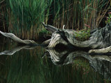 An Old Tree Stump Recalls Days Past When White Cedar Forests Grew in the Shallow Water