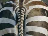 Close View of a Grants Zebras Rear End