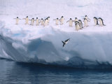 A Group of Adelie Penguins Taking Turns Leaping off an Iceberg