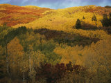 Autumn View of Aspens  Oaks  and Evergreens