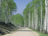 Road Through an Aspen Forest  Manti La Sal Mountains