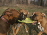 Three Boxer Dogs Play Tug-Of-War with a Frisbee