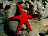 A Brilliant Red Starfish Rests on a Coral