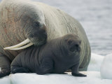 A Female Walrus Nuzzles Her Infant