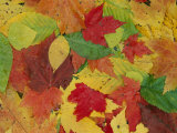 Array of Autumn Leaves
