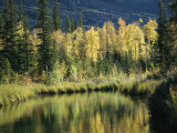 Birch and Spruce Trees are Reflected in Cli Lake