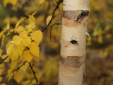 A Birch Tree Yellowed by the Autumn Season