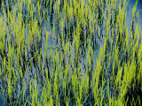 Grass Growing in the Water Creates an Abstract Pattern