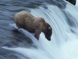 A Young Grizzly Bear (Ursus Arctos Horribilis) Wades Down a Waterfall