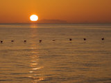 A Flock of Brown Pelicans Flying Low over the Water at Sunset