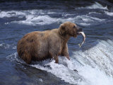 A Grizzly Bear Cub Catches a Fish from a Waterfall