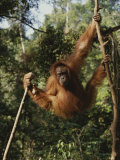 An Orangutan Swings on Jungle Vines