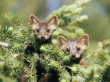 A Pair of Captive Pine Martins Stand on a Tree Branch