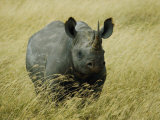 A Straight on View of a Rhinoceros in a Field of Tall Grass