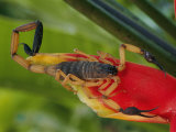A Scorpion  Native to Costa Rica  Perched on a Red Leaf