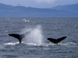 Tail Flukes of Diving Humpback Whales as They Feed