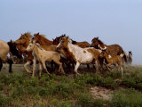 Chincoteague Ponies Run Along the Shoreline