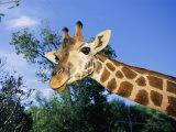 Close View of a Giraffe Looking Down into the Camera