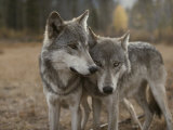 A Couple of Gray Wolves  Canis Lupus  Stand Next to One Another